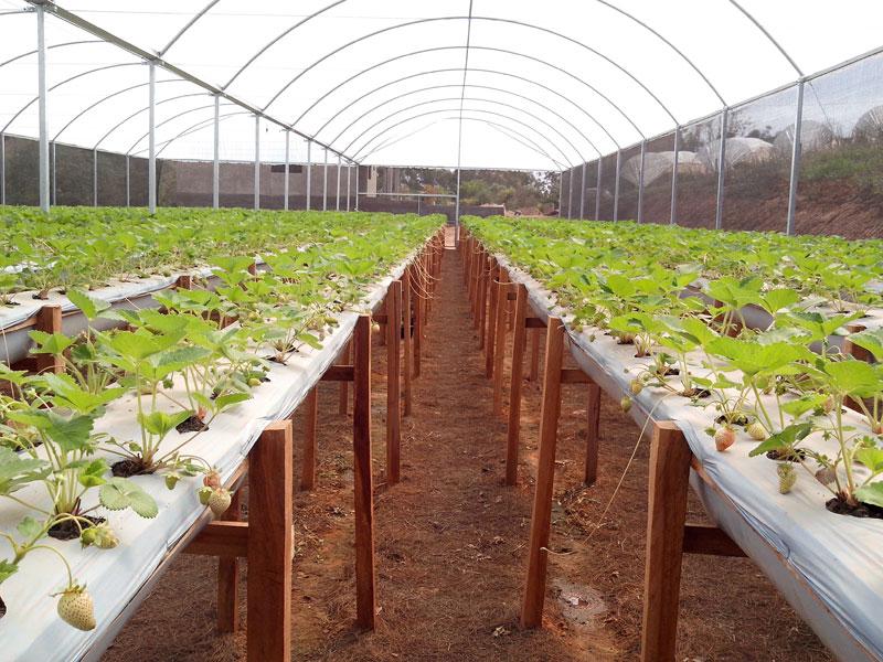 Estufa Agrícola para Plantação de Morango
