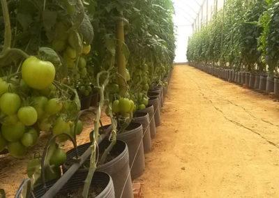 Estufa Agrícola para Tomate