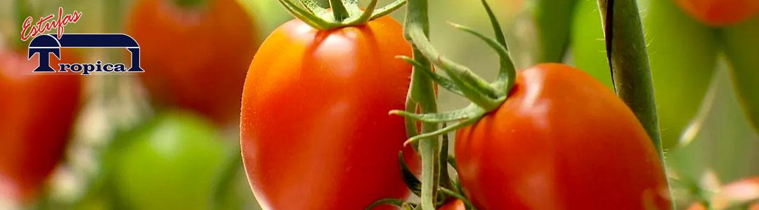 Cultivo de Tomates Hidroponia