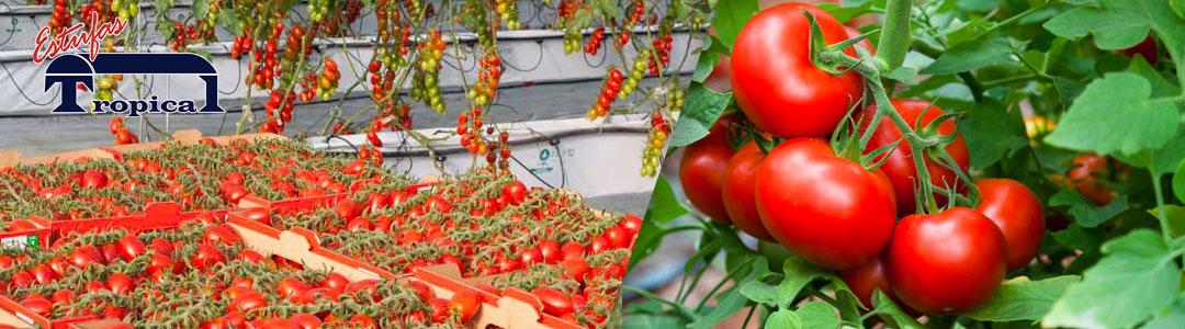 Estufa para Tomate