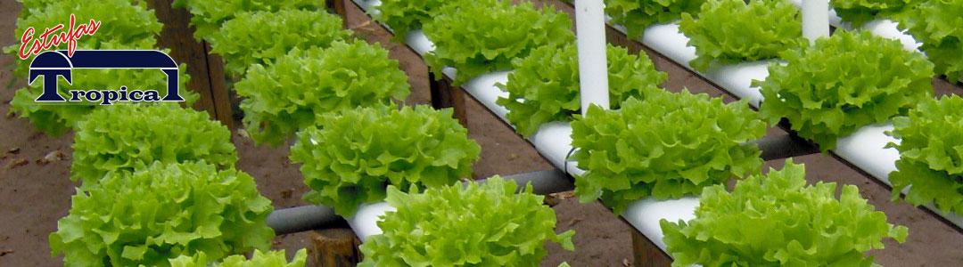 Alface Hidroponia Cultivo